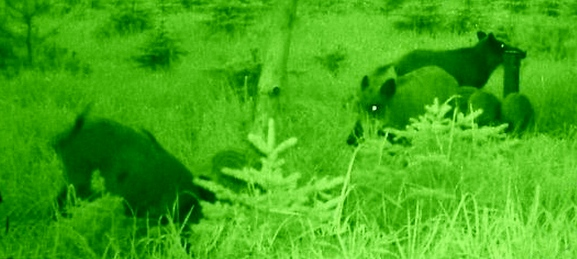 Sauen Nachtsichtgeräte Jagd